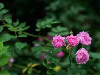 小清新月季花花群植物壁纸