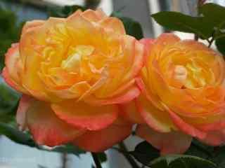 大香水黄色月季花桌面壁纸