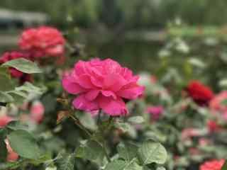 唯美的月季花花群桌面壁纸