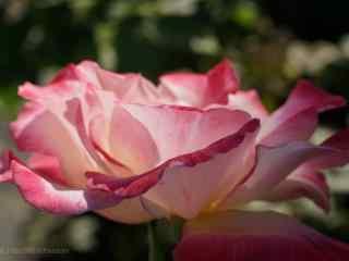 浅粉色月季花桌面壁纸