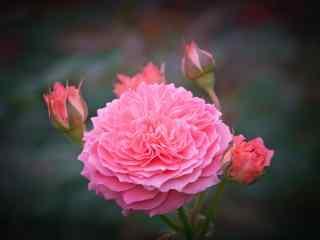 粉色月季花唯美桌面壁纸