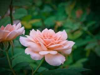 唯美的粉色月季花图片壁纸