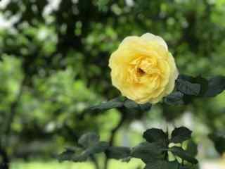 单朵黄色月季花桌面壁纸