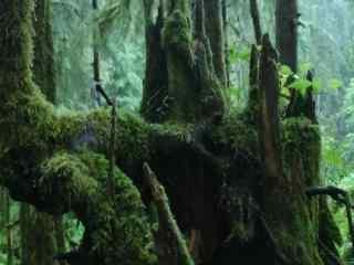 原始森林中的大树高清壁纸