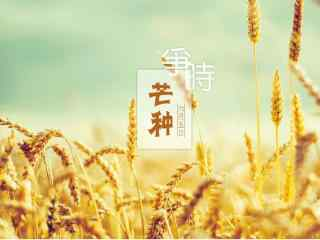 芒种节气之金黄的麦穗壁纸