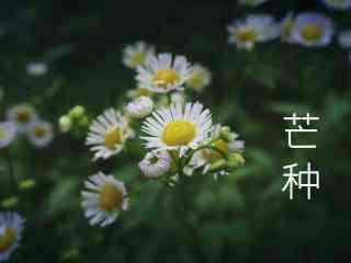芒种节气之清新小菊花壁纸图片