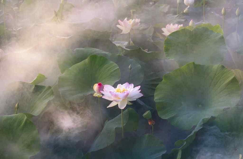 秀气美丽的莲花图片壁纸