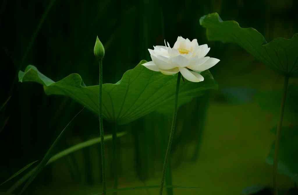 荷塘中的白莲花图片壁纸