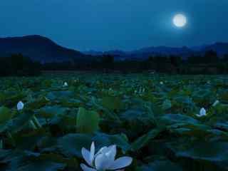 月下荷塘之白莲花图片壁纸