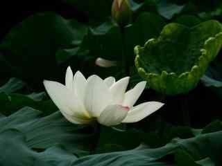 美丽的白莲花图片壁纸