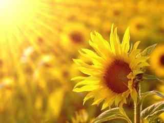 阳光下的向日葵桌
