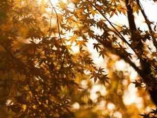 阳光下的枫树桌面