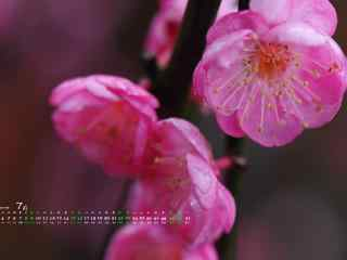 2017年7月日历美丽的鲜花桌面壁纸