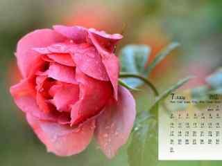 2017年7月日历粉色鲜花图片壁纸
