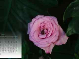 2017年7月日历紫色鲜花桌面壁纸