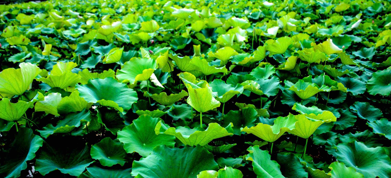 绿色护眼湖面盛开的荷叶桌面壁纸