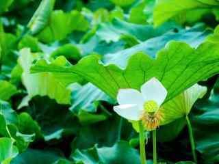 唯美绿色护眼盛开的莲花桌面壁纸