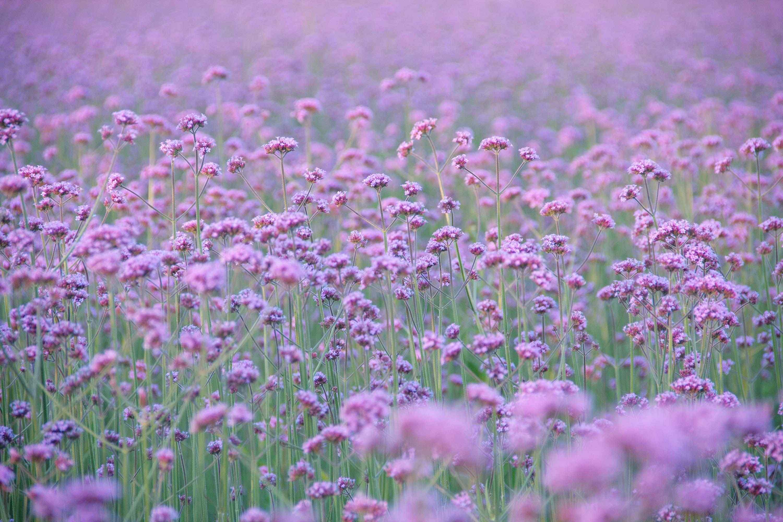 清新日系紫色马鞭草花海桌面壁纸