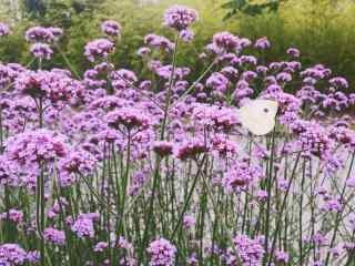 唯美蝴蝶嬉戏在马鞭草花海中桌面壁纸