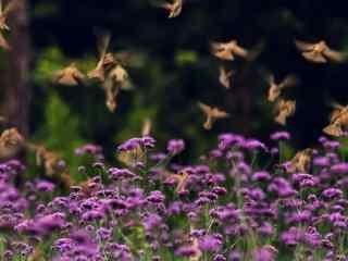 马鞭草上飞舞的鸟儿桌面壁纸