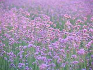 清新好看的紫色马鞭草桌面壁纸