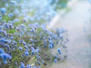 小清新好看的蓝色马鞭草桌面壁纸