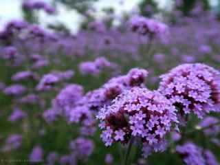 蓝天下紫色的马鞭草桌面壁纸