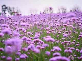 清新浪漫的紫色马鞭草桌面壁纸