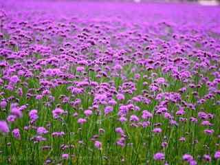 小清新紫色马鞭草花海桌面壁纸