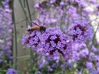 马鞭草上停留着小蜜蜂桌面壁纸
