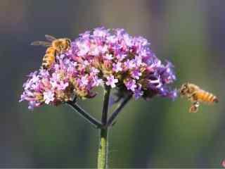 两只蜜蜂停在马鞭草上桌面壁纸