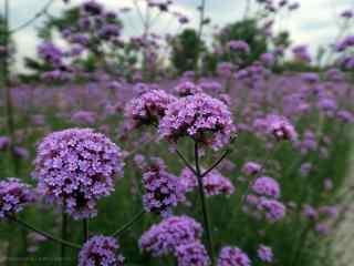 紫色好看的马鞭草桌面壁纸
