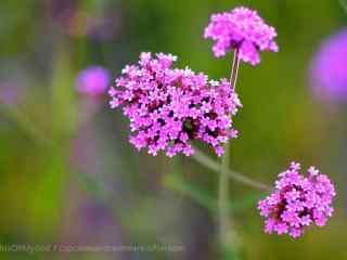 小清新绿色护眼紫色马鞭草桌面壁纸