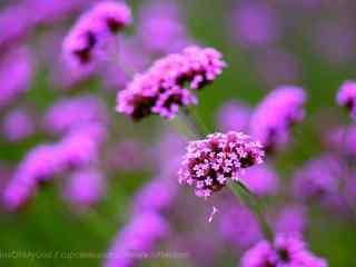 好看的紫色马鞭草桌面壁纸