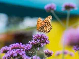 黄色的蝴蝶停留在马鞭草上桌面壁纸