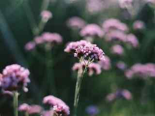 唯美日系紫色马鞭草桌面壁纸