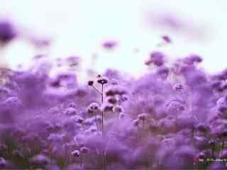 唯美浪美紫色马鞭草花海桌面壁纸