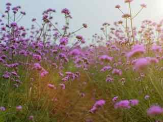 唯美夕阳下的马鞭草花海壁纸