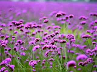 清新好看的紫色马鞭草花海桌面壁纸