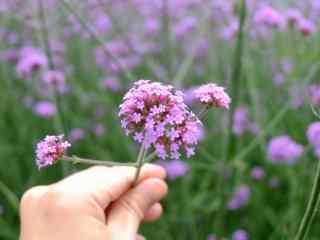 小清新紫色马鞭草桌面壁纸