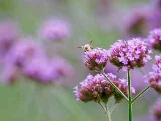 小清新日系紫色马鞭草桌面壁纸
