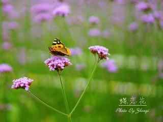 蝴蝶停留在马鞭草上桌面壁纸