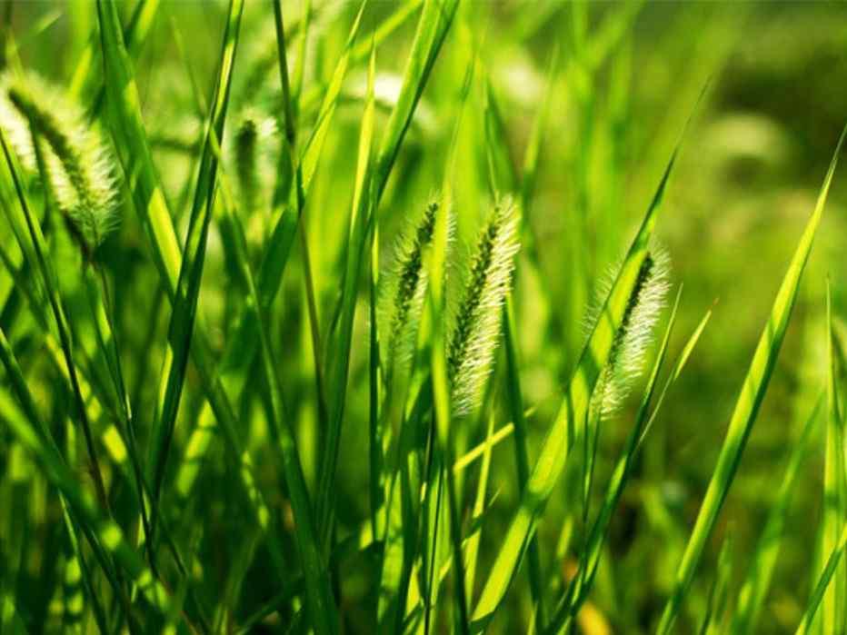 小清新绿色护眼狗尾巴草桌面壁纸