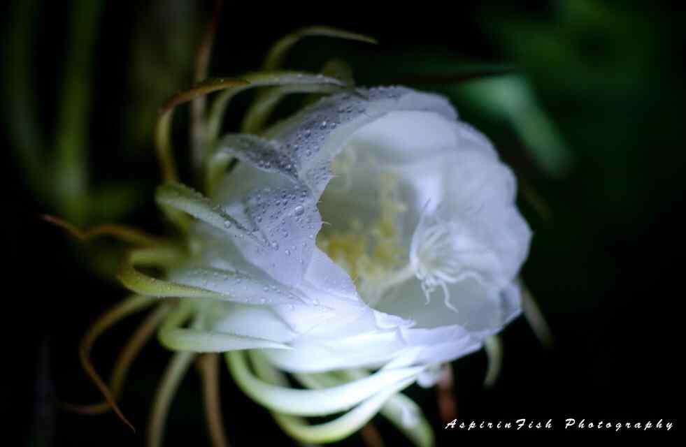 水珠挂满在昙花花瓣上桌面壁纸