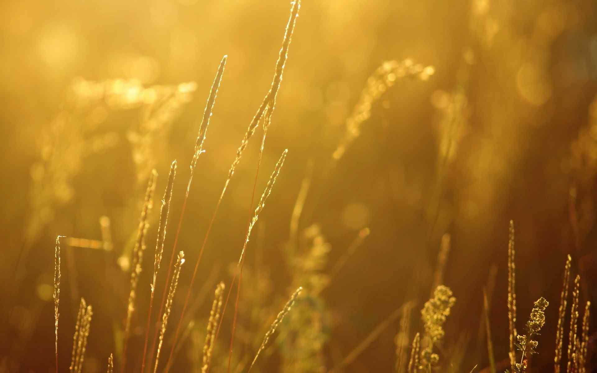 唯美日落黄昏下的狗尾巴草桌面壁纸