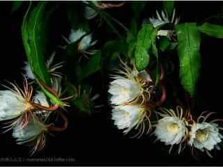 壯觀的nian)薊hua)成(cheng)串開放桌面壁紙