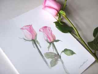 唯美好看的粉色玫