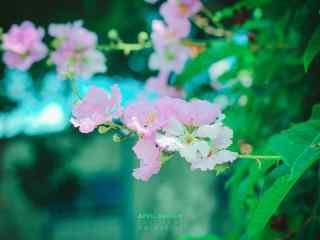 清新好看綠色護眼(yan)紫薇桌面(mian)壁紙