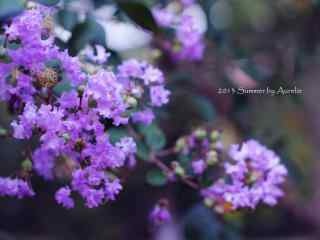 小清新好看的(de)紫色紫薇花桌面(mian)壁紙