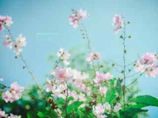 日系(xi)小清(qing)新(xin)好看的紫薇花(hua)桌面壁紙(zhi)